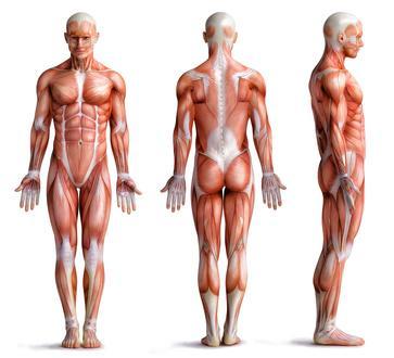 Menschliche Anatomie und Faszien